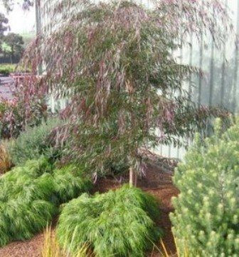 Agonis flexuosa 'Burgundy' is a colorful selection of the evergreen, drought-tolerant peppermint willow from Australia. Like the species, it tolerates the windy, foggy side of the city rather well, although it's not ideal for salty, front-line gardens right by the beach.