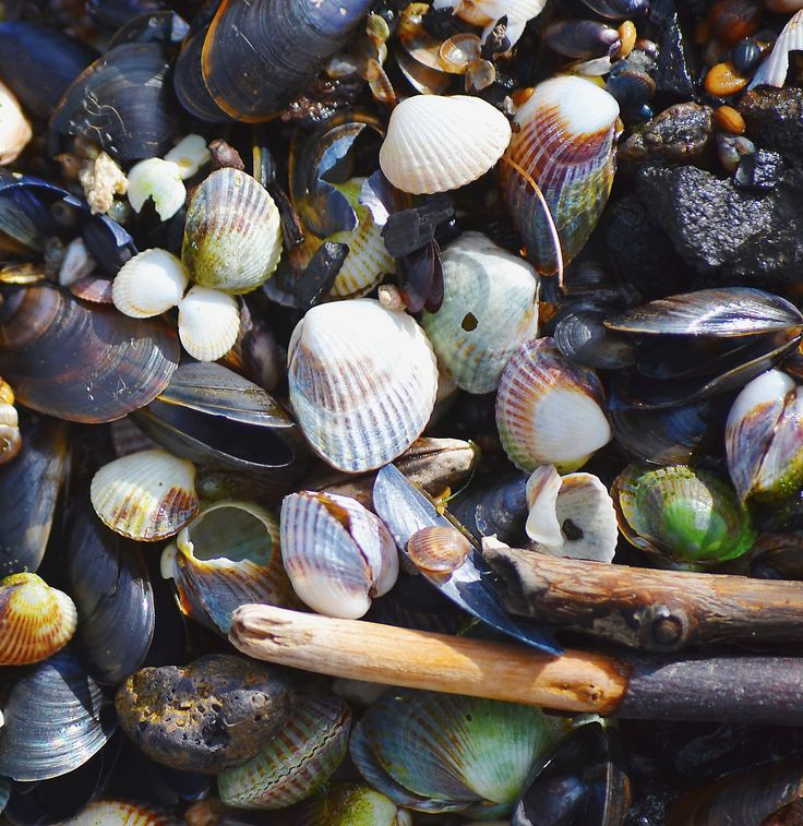 Seashells by Tine Nordbred on 500px Seashells drifted ashore on the beach #background #beach #clam #clams #driftwood #mussels #sandy #seashells #shells #stones #wood #drifted ashore