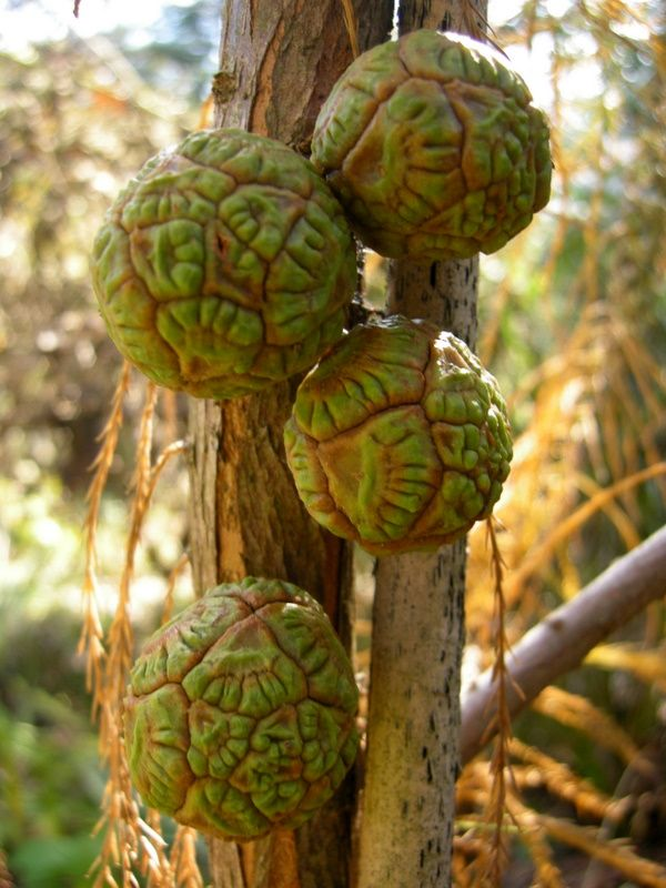 Pond cypress, Taxodium ascendens, is ornamental almost all the time, and also produces these gorgeous cones.