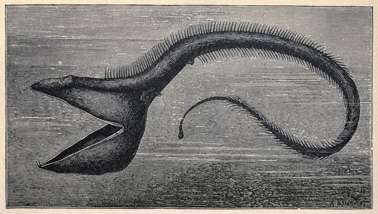 """""""Pelican Fish"""" from Living Lights: A Popular Account of Phosphorescent Animals and Vegetables by Charles Frederick Holder, 1887Oleandertim"""