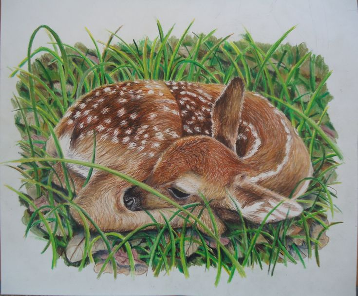 277 best images about FAWN SKETCHES on Pinterest