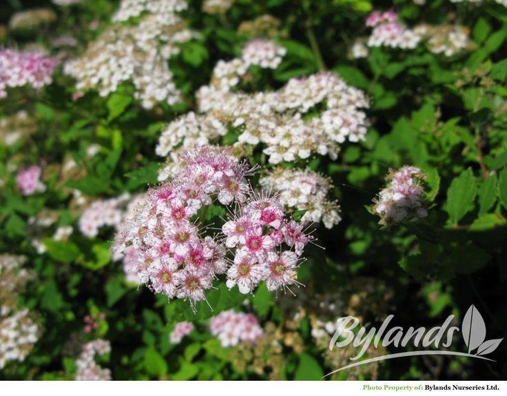 Shirobana Spirea 3 X 3 Gorgeous Flowers Beautiful