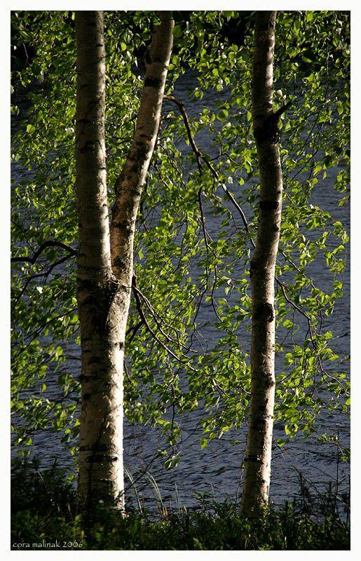 Birch trees, Savonlinna, Eastern Finland
