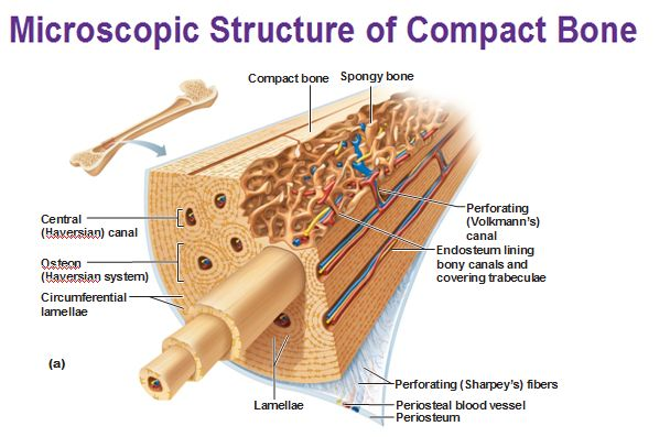 microscopic structure of compact bone
