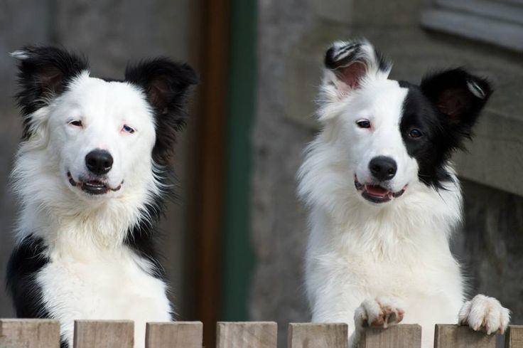 So cute!! Looks like Olivia and Gus who are up for adoption right now at Come Bye Border Collie Rescue... comebyebcrescue.rescuegroups.org  7-2-14