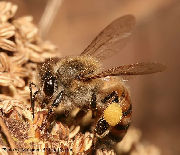 Stunning Identifying Honey Bee Flower Sources By Pollen Color