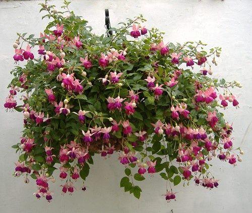 Um jardim para cuidar: Brincos-de-princesa..mais uma das minhas flores de infância !