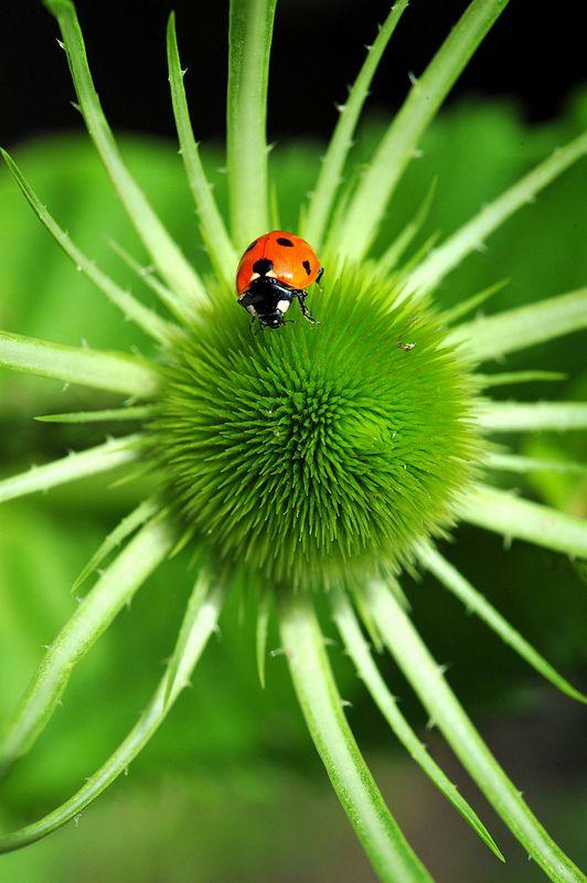 Ladybird on teasel