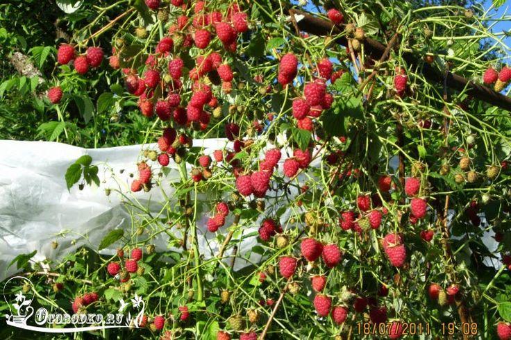 Выращивание малины – технология посадки, сроки посадки малины, техника выращивания малины, чем подкормить малину, как…