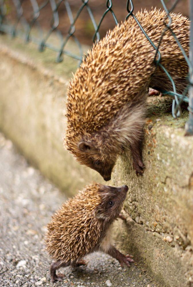 Igeltreffen am Zaun von Peter Schöllbauer -- hedgehog
