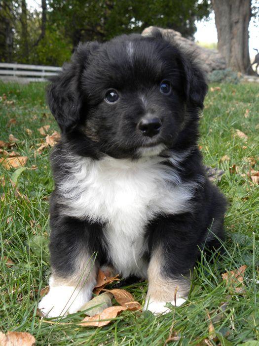 Mini Australian Shepherd... adorable as can be
