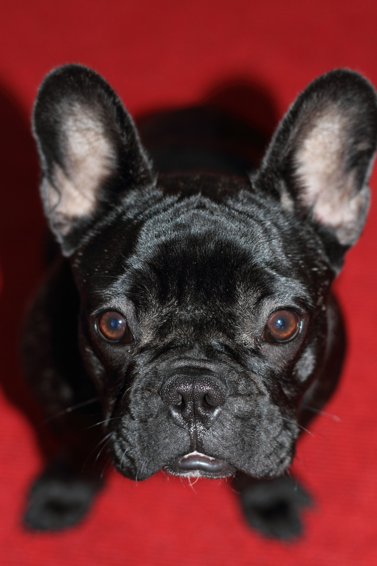 red anouk the frenchie