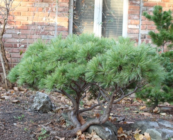 Pinus strobus globosa small fast growing evergreen for Short evergreen trees