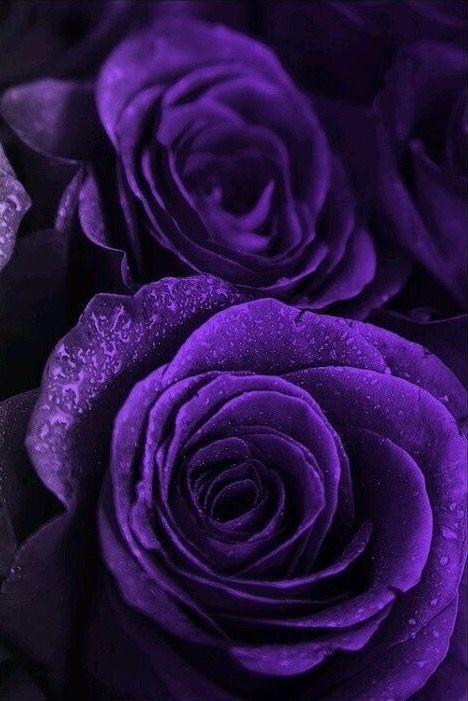 Purple rose, Alba Gu Brath, #comejoinourCampaign, visit jacobitetours.co.uk