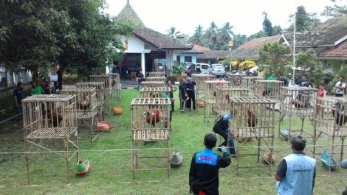 Kontes Ayam Pelung