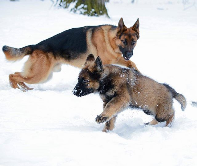 Catch Me If You Can Troygsd Germanshepherds