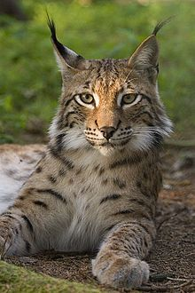 Lynx - The lynx has a short tail and characteristic tufts of black hair on the tips of its ears; large, padded paws for walking on snow; and long whiskers on its face. Under its neck, It has a ruff which has black bars, is not very visible, and resembles a bow tie. There are four species of lynx: The  the bobcat, the Canada lynx, the  Eurasian lynx, and the Iberian lynx.