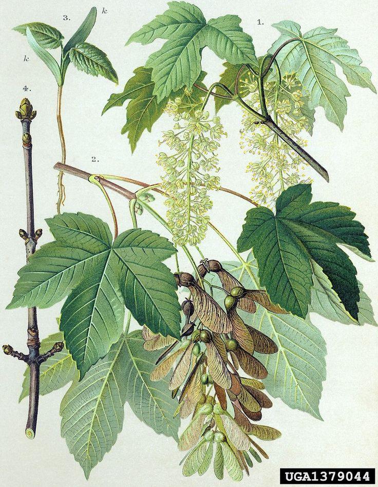 De gewone esdoorn (Acer pseudoplatanus) is giftig voor paarden. 30m hoogte
