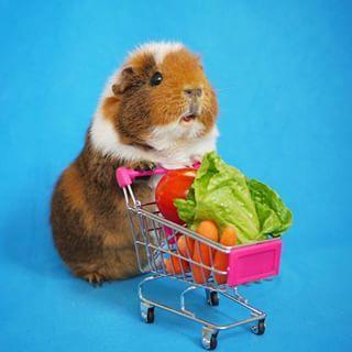 Mas elas ainda têm tempo de fazer as compras.   Estes porquinhos-da-índia fantasiados são adoráveis demais