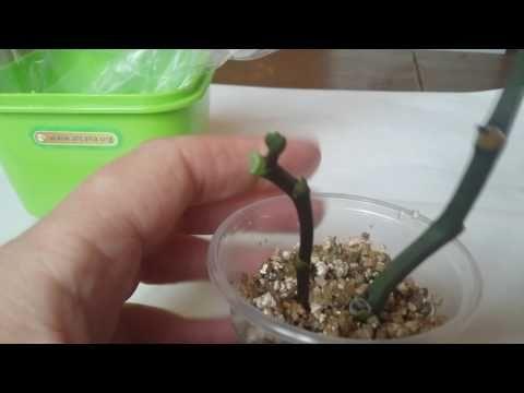 Укоренение цветоноса Орхидеи.часть третья. - YouTube