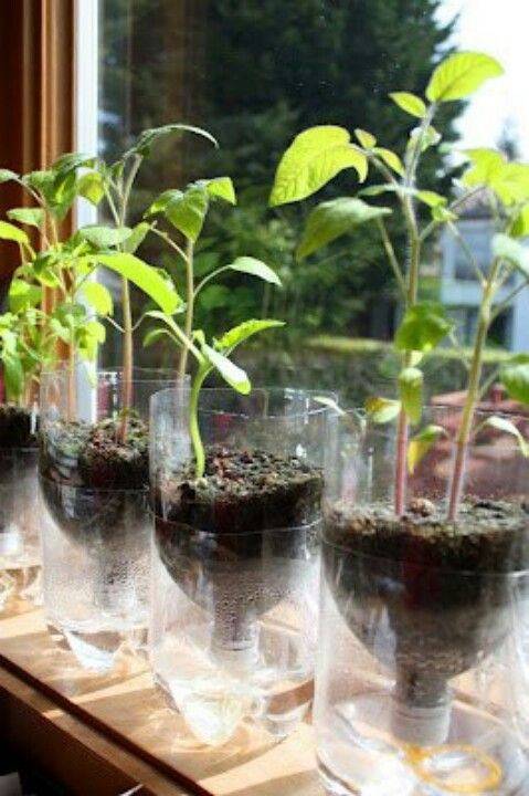 Recycled soda bottles make self watering planters for seedling.
