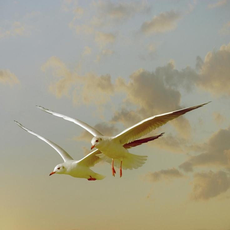 Two Mediterranean Gulls In Flight