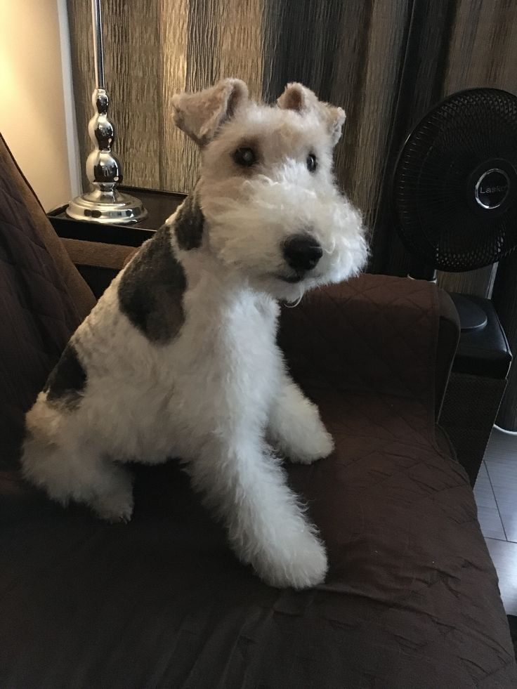 950 best Wire Fox Terrier images on Pinterest | Wire fox terriers ...