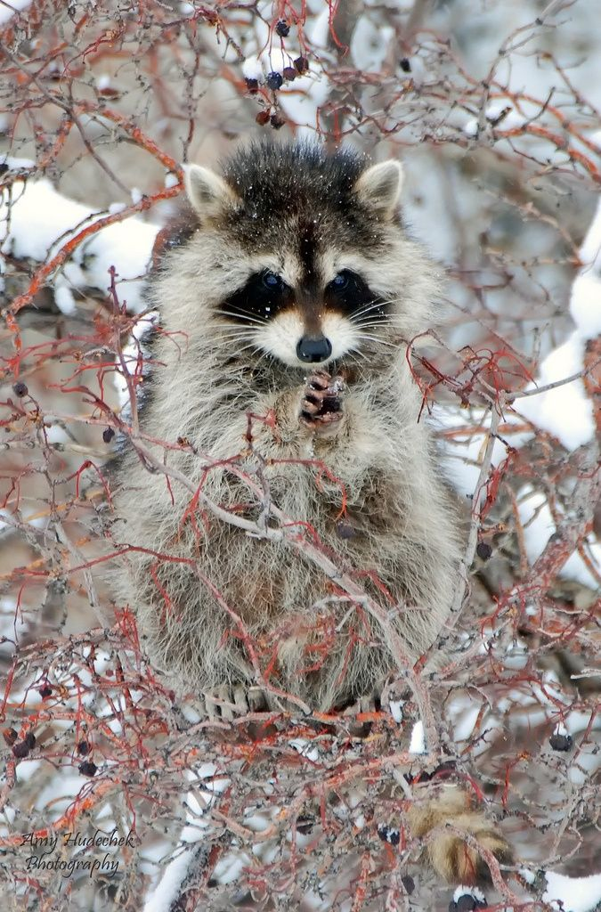 another raccoon being CRAFTY!