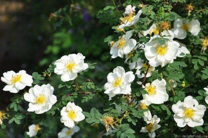 'Double Cream ' Rose Photo