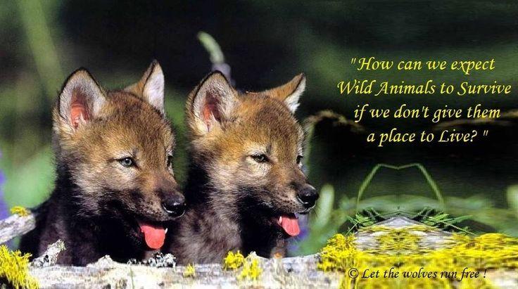 Husky Frases: Frases De Lobos, Lobos