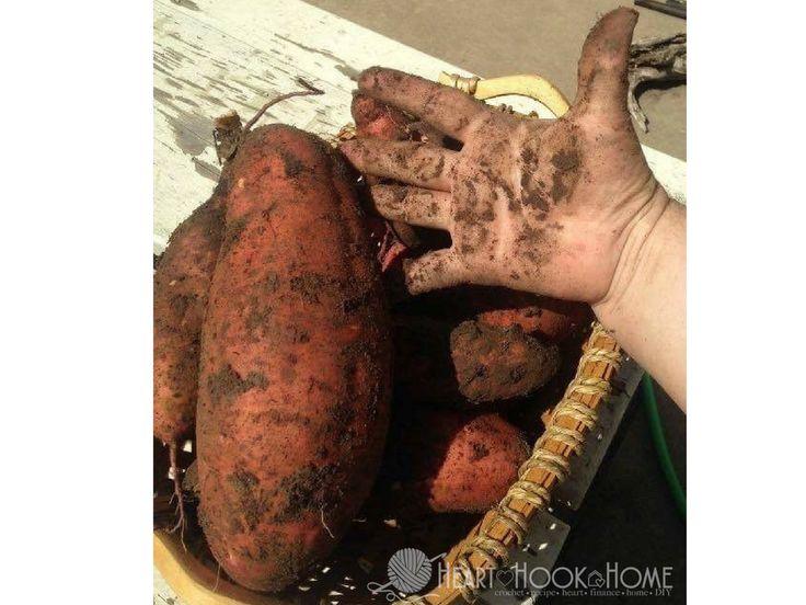 how to start sweet potato slips