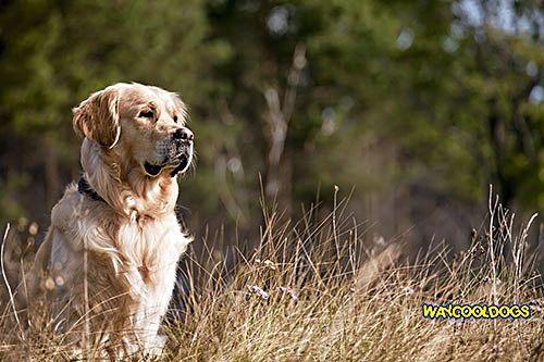 Diarrhea In Golden Retrievers How To Treat Infected Dogs Diarrhea