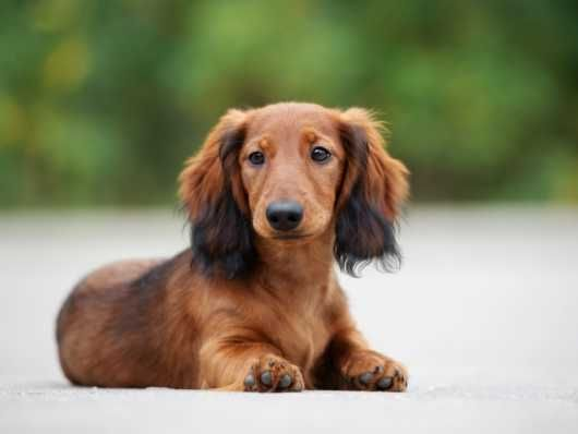 The Standard Dachshund Is Big I Don T Think I Ve Seen One