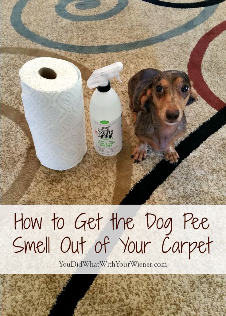 Dealing with dog pee on the carpet can be a real headache