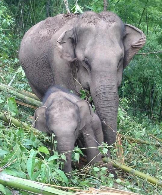 Baby Wan Mai is getting so big!  #gvi #elephants #thailand