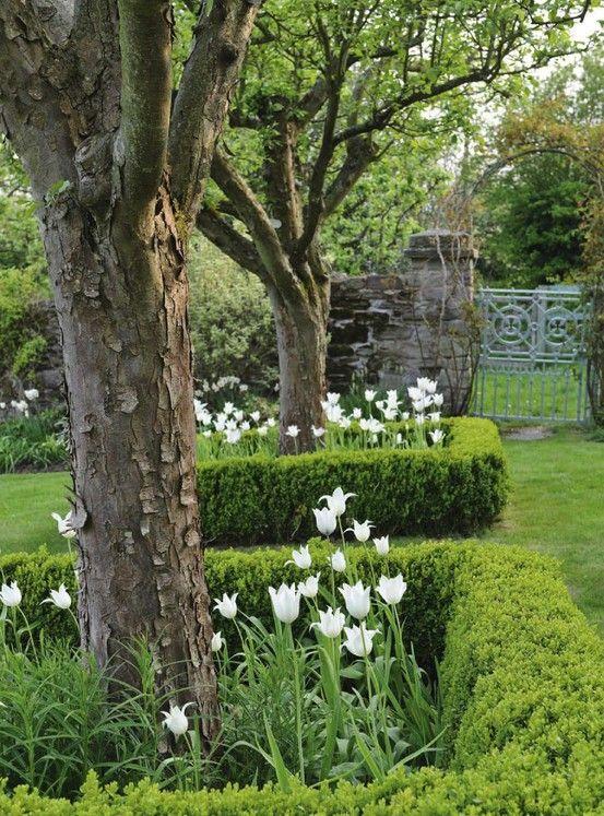 witte tulpen in buxus vakken