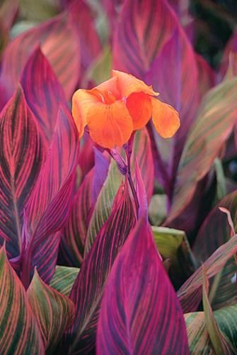 Canna 'Phasion' (Tropicanna Lily) urple with dramatic stripes of yellow and red, evenly spaced throughout the leaf. Atop the 7' tall stems are wonderfully gaudy, shocking orange flowers throughout the summer