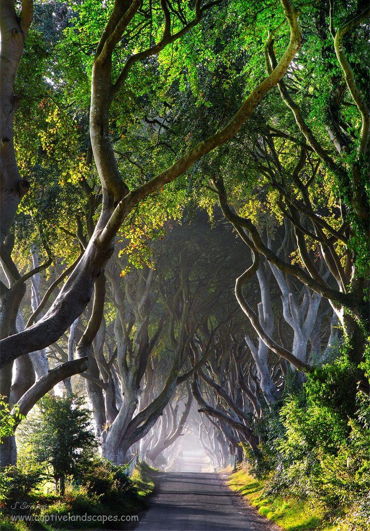 The Dark Hedges in Northern Ireland. La leggenda narra che lo spettro della Grey Lady ossessiona il sottile nastro di strada che si snoda sotto i faggi secolari. Pare che la donna misteriosa appaia al tramonto tra gli alberi, scivoli silenziosamente lungo la strada e svanisca vicino all'ultimo albero di faggio.