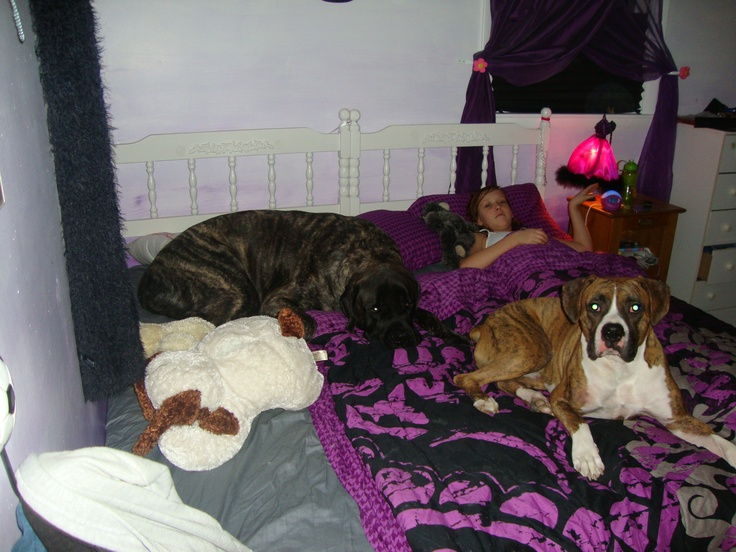 my big o puppies Brutus and Big Van Vader!! Both sleeping with me! They both think they are lap dogs!! THEM CRAZIES!!