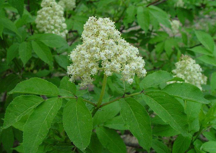 36 best colorado native shrubs images on pinterest shrubs shrub red elderberry sambucus racemosa sambucus racemosa l publicscrutiny Images
