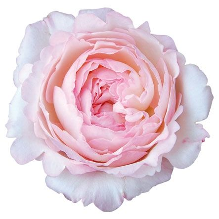 This beautiful #Keira rose embodies an ombre look, gradually fading from cream to pale pink toward the flower's center. It is a must-have for sparingly intertwining pink with traditional white #bridaldécor.