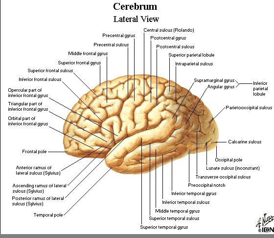 left hemisphere brain models with cerebral lobes, broca's area, wernicke's area, angular gyrus, supramarginal gyrus, motor strip, somatosensory cortex, lateral fissure, central sulcus - Google Search