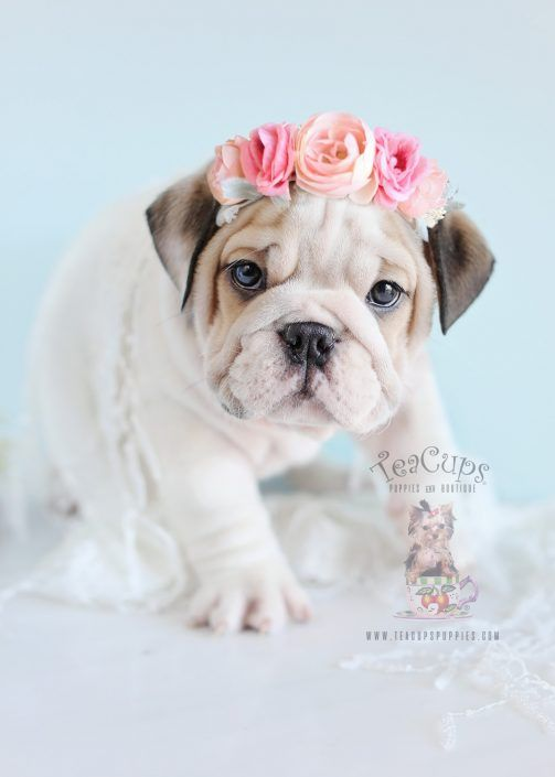 English Bulldog Puppy For Sale by teacupspuppies.com
