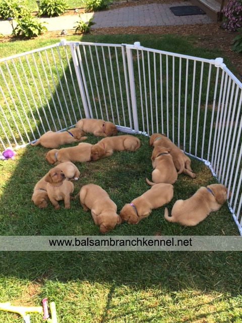 English Fox Red Labrador Puppies For Sale 06                              …