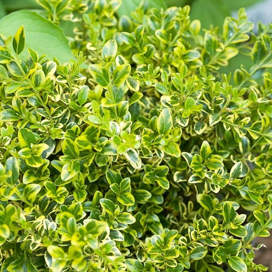 Wedding Ring Boxwood  Any boxwood adds evergreen structure to gardens and containers, but you get more than that with Wedding Ring. Its yellow-variegated foliage adds a sweet lemony hue to gardens. It's small in stature, too, growing only 12-36 inches tall. And it features a neat, mounded growth habit. Perfect for small hedges or containers.