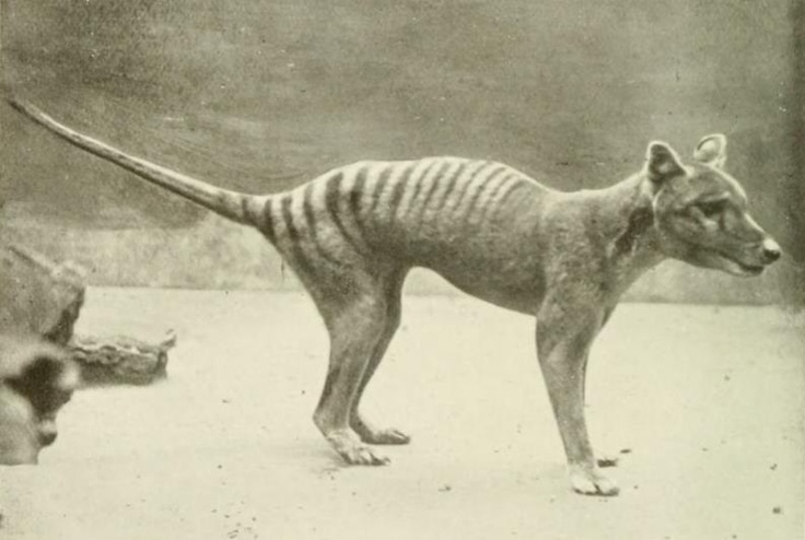 "Photo of living tasmanian tiger under the catagory, ""Photos of extinct animals taken while still extant.""  Video footage of this now extinct animal! species.wikimedia..."