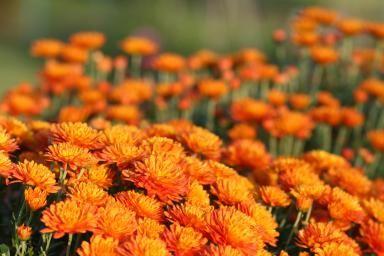 Chrysanthemum - Shunyu Fan/E+/Getty Images