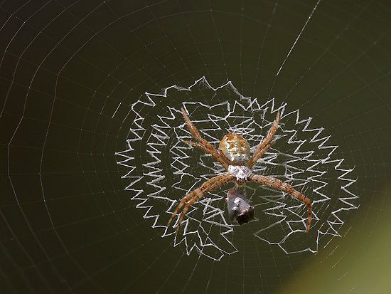1000+ images about Spiders / Webs on Pinterest | Jumping ... Jumping Spider Web