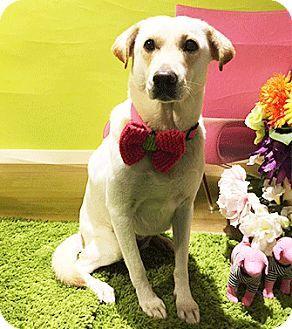 Castro Valley, CA - Labrador Retriever Mix. Meet Highway, a dog for adoption. http://www.adoptapet.com/pet/18027318-castro-valley-california-labrador-retriever-mix