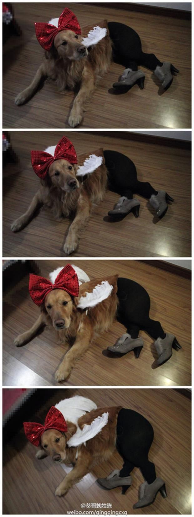 dogs wearing pantyhose meme (3)